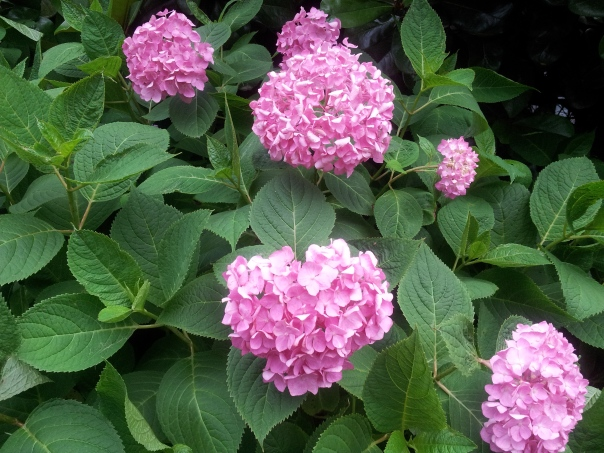 Hydrangeas in bloom.