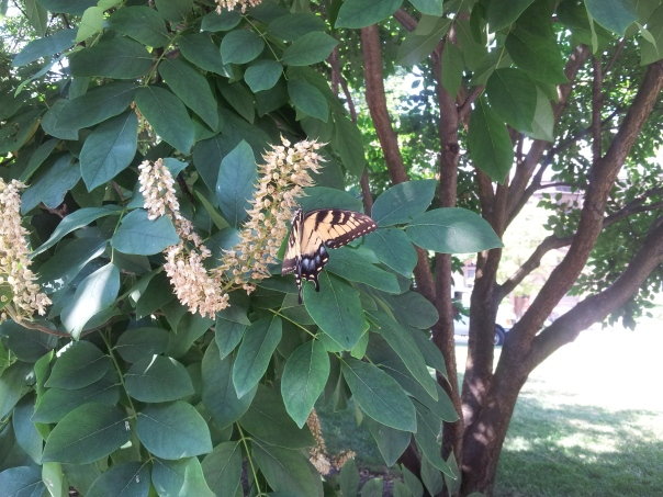 A butterfly in Princeton.  My photo.