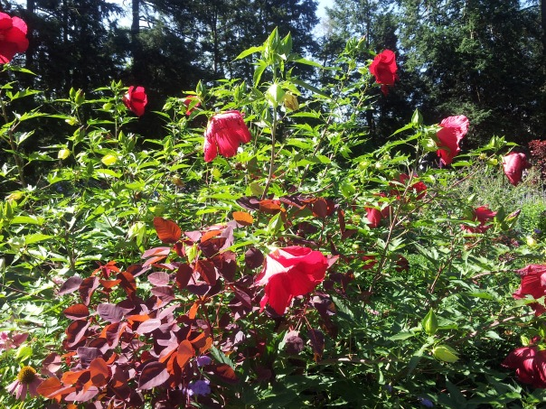 Hibiscus in the President's Garden, Princeton University.  My photo.
