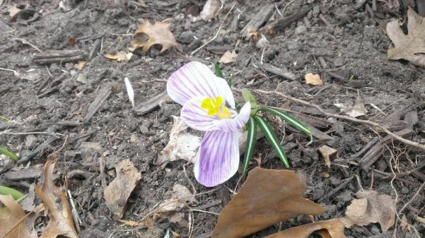 My sister's photo of the first flower of 2014 in her neck of the woods.